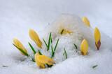 Snow covered yellow crocus flower