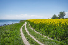 Coastal Dirt Road Stretching Along Oilseed Rape Field