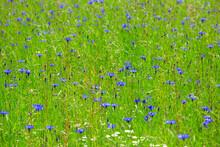 Cornflowers Blooming In Springtime Meadow