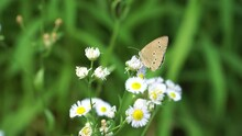 The Ringlet (name In Latin: Aphantopus Hyperantus) Butterfly From The Family Nymphalidae. In A Close-up View, A Nectar-feeding Insect Is Located On White Flower Heads In The Summer Season.