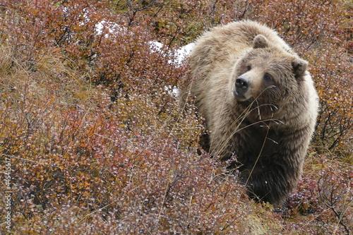 Canvas-taulu bär, grissly bär, tier, wild lebende tiere, wild, grizzly, säugetier, braunbär,