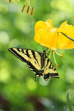 Tiger Swallowtail Butterfly On Beautiful Yellow Lily Flower
