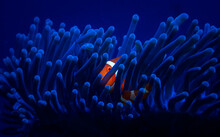 One Tiny Orange Clownfish Hides In A Bright Blue Anemone