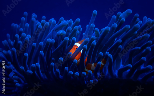 One tiny orange clownfish hides in a bright blue anemone Poster Mural XXL