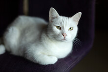 White Cat Lying On Chair At Home