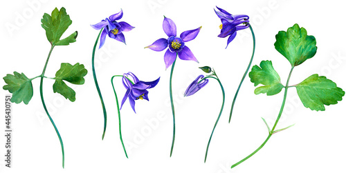 Canvas-taulu Set of blue aquilegia flower in watercolor style isolated on white background