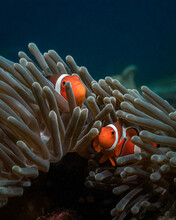 Two Cute Clown Fish Are In A Sea Anemone In The Bright Blue Sea Water