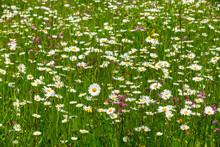 White Wildflowers Blooming At Meadow