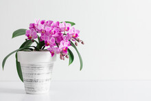 Pink Orchid In Pot On White Table.