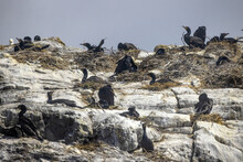 Group Of Double-crested Cormorants Nesting On A Rocky Cliff