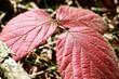 canvas print picture - Blaetter der Brombeere  faerben sich im Herbst rot.  Blackberry leaves turn red in autumn.