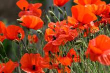 Corn Poppy, Papaver Rhoeas, Called Poppy Flower, Corn Rose, Poppy, Corn Poppy (Papaver Rhoeas), Also Called Poppy Flower Or Corn Rose, Is A Species Of Plant Belonging To The Genus Poppy