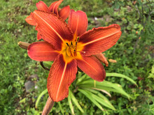Orange Lily Growing In The Wild Field In New Brunswick Canada