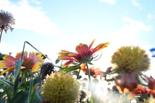 Close-up Of Blanket Flower (Gaillardia Pulchella) With Blue Sky And Clouds In Background