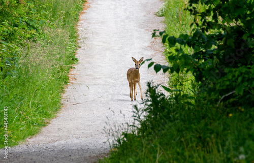 Obraz na plátně Cute baby roe deer standing alone on a narrow footpath in the forest