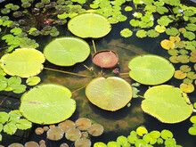 A Pond With Many Lotus Leaves