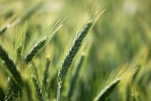 Closeup Shot Of Young Green Wheat On A Field