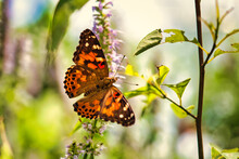 A Close Up Of An American Lady Butterfly With A Blurred Background.