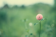 Flower In The Field, Red Clover