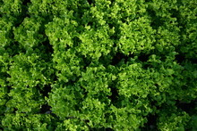 Top View Of Organically Grown Green Oak Lettuce In The Garden. The Idea Of growing Vegetables That Are Safe To Eat At Home