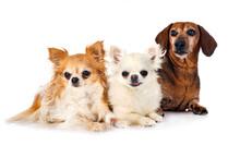 Dachshund And Chihuahuas