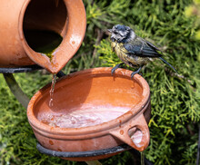 Close Up Shot Of A Cute Little Bird Standing On Edge Of A Clay Pot With Water Being Poured Onto It