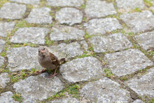A Sparrow Standing On A Granite Cube And Looking Up With Curiosity, City, Nature.