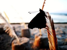 Dark Close-up Butterfly Sitting On The Carroty Feather On The Beach Of The Baltic Sea