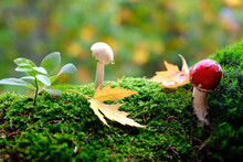 Fluffy Green Moss With Red Fly Agarics, Amanita Phalloides, Autumn Leaves, Beautiful Blurred Natural Landscape In The Background, Concept Of Forest Mood, Leaf Fall