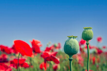 Two Poppy Seed Heads Against A Blue Sky. Red Flowering Poppies Are Visible In The Background. The Photo Was Taken On A Sunny Day At The End Of The Spring Season On A Dutch Field.