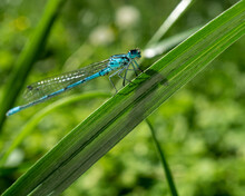 Closeup Of An Azure Damselfly (Coenagrion Puella) Dragonfly On A Green Leaf