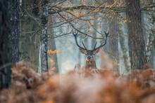 Cerf Forêt De Fontainebleau