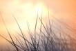 Gras Silhouette und im Hintergrund der  Sonnenuntergang