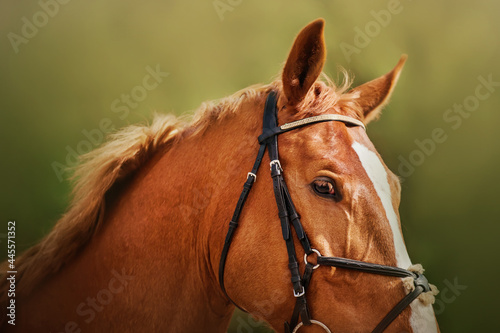 Fényképezés Portrait of a beautiful sorrel horse with a bridle on its muzzle on a sunny summer day close-up