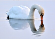Swan In The Morning Mist Kissing The Water.