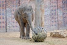 Asiatischer Elefant ( Elephas Maximus Indicus ).