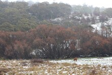 Beautiful Brown Horse Grazing In Partially Snow Covered Paddock With Autumn Trees In The Background And Kookaburra Perched In The Trees On A Cloudy Cold Winter Day.