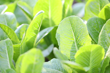 Organic Flowering Cabbage Green Leaves Close Up