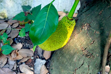 Jackfruit Fruit That Is Still Growing Under The Leaf, Place From Indonesia, Asia