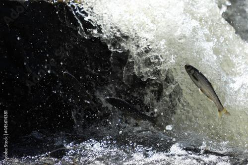 Fototapeta flying fish