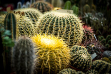 Closeup Of Different Cactuses With Thorns