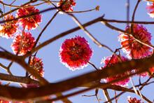 Galhos De Ipê Rosa Floridos. Handroanthus Heptaphyllus.