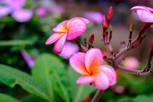 ハワイを代表するピンクのプルメリアの花。肉厚な花を咲かせる。フラダンスをしている女性が付けている「レイ」に使われる花としても知られている。花言葉は「気品」「日だまり」「情熱」「内気な乙女」