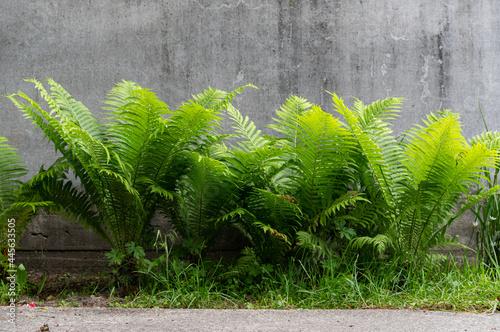 Murais de parede Beautiful fern bush. Fern side view. A flower bed with a fern.