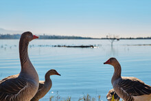 Country Goose On The Lake