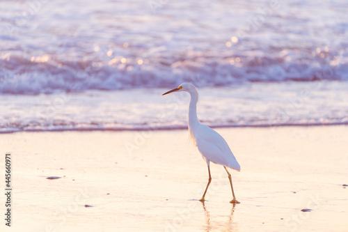 Fototapeta premium great blue heron on beach