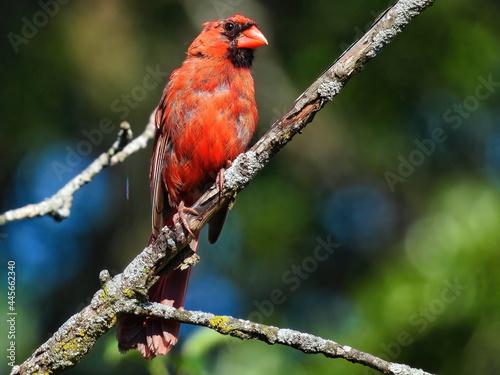 Slika na platnu Red Cardinal on a Branch: A balding molting male Northern red cardinal perched o