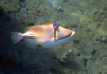 Exotic Coral Fish -  Picasso Trigger-fish, Scientific Name Is Rhinecanthus Assas, The Species Belongs To The Family Balistidae, It Inhabits Red Sea, Middle East