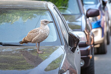 Herring Gull Chick (Larus Argentatus) On The Hood Of A Parked Car In The Street