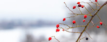 Rosehip Branch With Red Berries In Winter On A Blurred Background, Panorama